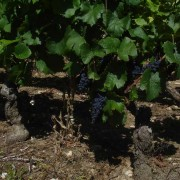 Pinot Noir in August, Nuits-St-Georges